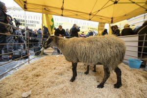 Terremoto: Coldiretti, allevatori e pecore a Montecitorio